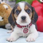 Chevromist Beaglier-Puppy-CHGQM2