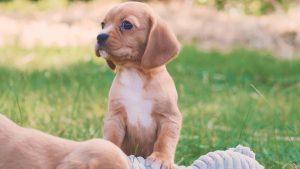 Chevromist Beaglier Puppy Ruby
